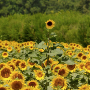Fields of gold sunflowers in bloom off Brattonsville Road near McConnells